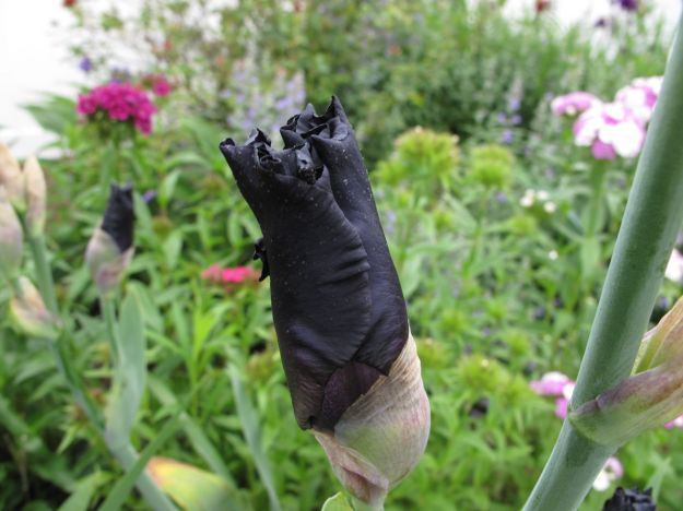 Nearly black Iris germanica (Bearded iris)
