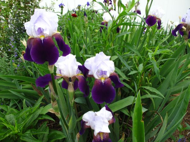 Iris germanica (Bearded iris) In Northern Border