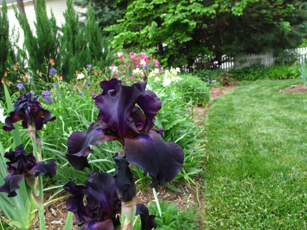 Iris germanica (Bearded iris) in Southern Border
