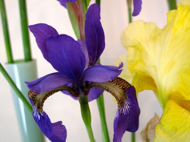 Iris sibirica (Siberian Iris), left