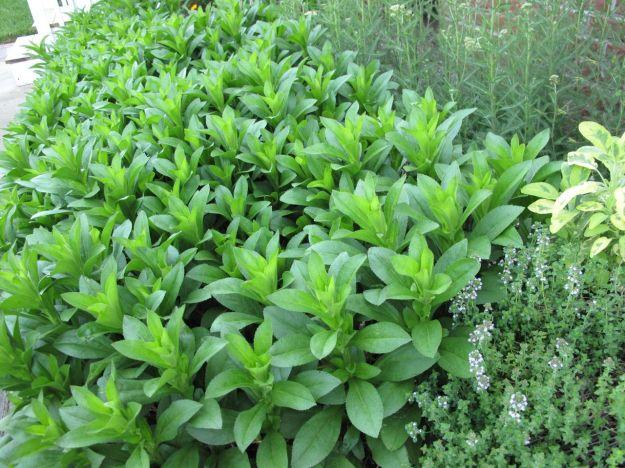 Leucanthemum x superbum (Shasta Daisy)