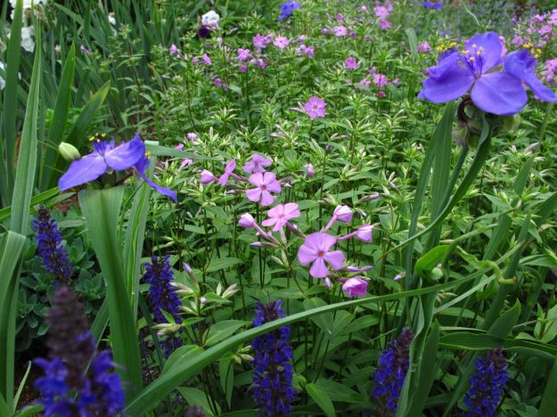 Meadow Sage 'May Night', Tradescantia (Spiderwort), Phlox divaricata (Woodland phlox)