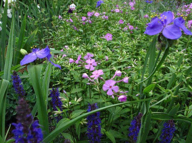 Meadow Sage 'May Night', Tradescantia (Spiderwort), Phlox divaricata (Woodland phlox)