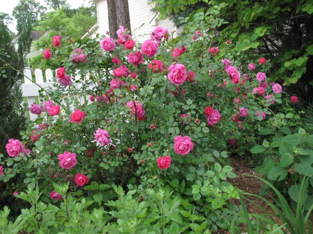 Old-fasioned Rose