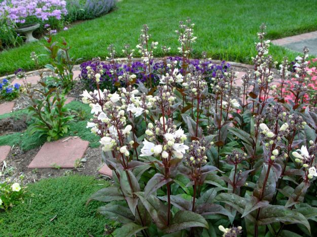 Penstemon digitalis 'Husker Red' (Beardtongue) forms part of the Meditation Circle wall