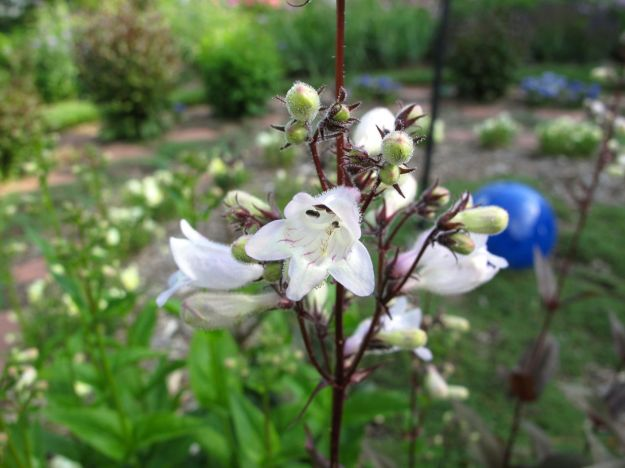 Penstemon digitalis 'Husker Red' (Beardtongue) in the Meditation Circle
