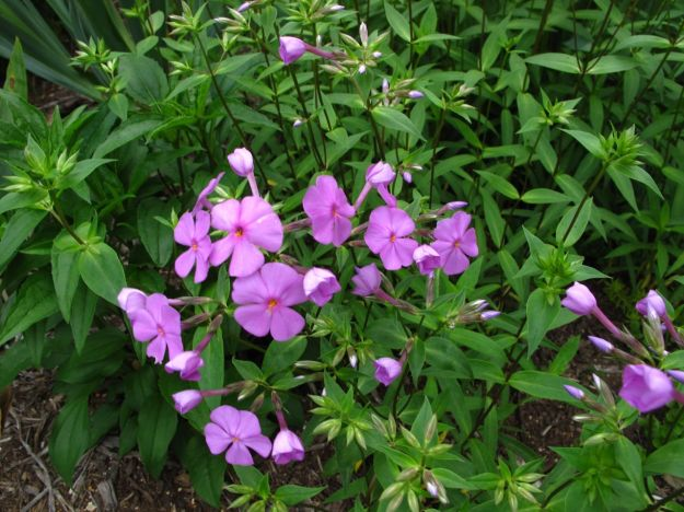 Phlox divaricata (Woodland phlox) In Northern Border