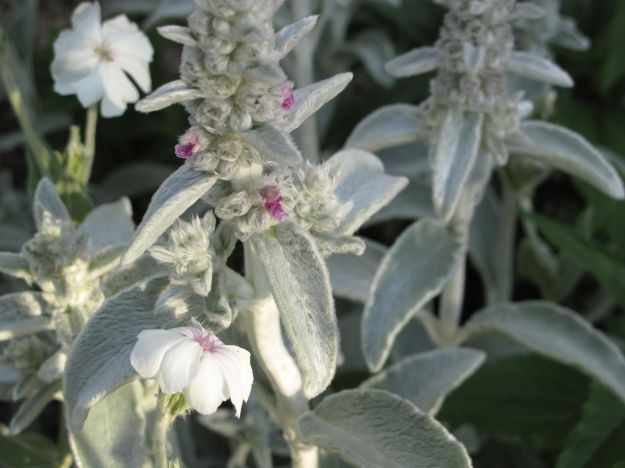 Stachys byzantina (Lamb's Ear) and Lychnis coronaria (Rose Campion)