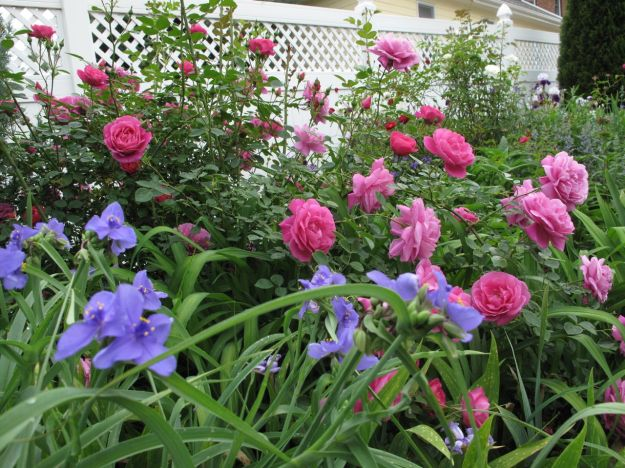 Tradescantia (Spiderwort) and Old fasioned Rose