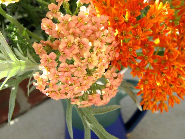 Achillea x 'Appleblossom' (Yarrow) and Asclepias tuberosa (Butterfly Plant)