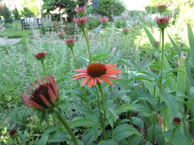 Echinacea 'Big Sky Sundown' (Hybrid Coneflower) in northern border