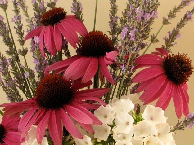 Echinacea purpurea (Purple Coneflower), Phlox paniculata 'White Flame' (Dwarf Garden Phlox) and Lavender