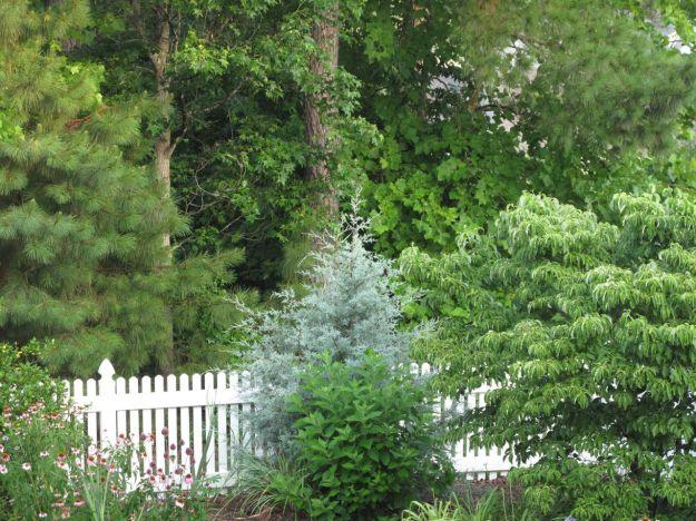 'Carolina Sapphire' Arizona Cypress and Cornus florida (Flowering Dogwood)