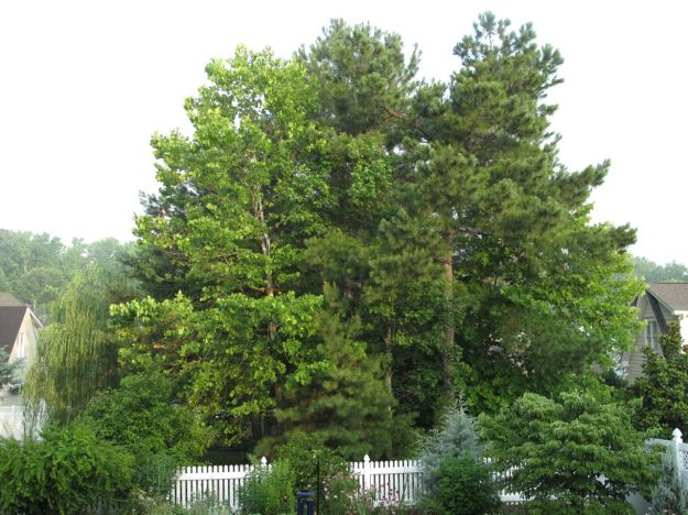 Platanus occidentalis (American sycamore) and Pines