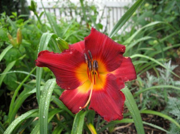 Hemerocallis (Daylily)