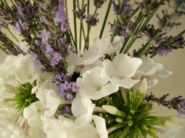 Phlox paniculata 'White Flame' (Dwarf Garden Phlox) and Lavender