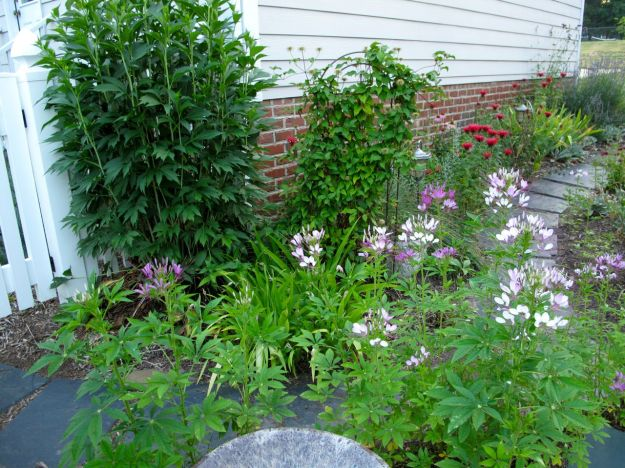 Cleome bloom in front of a ceramic bird bath near the southern entrance gate.