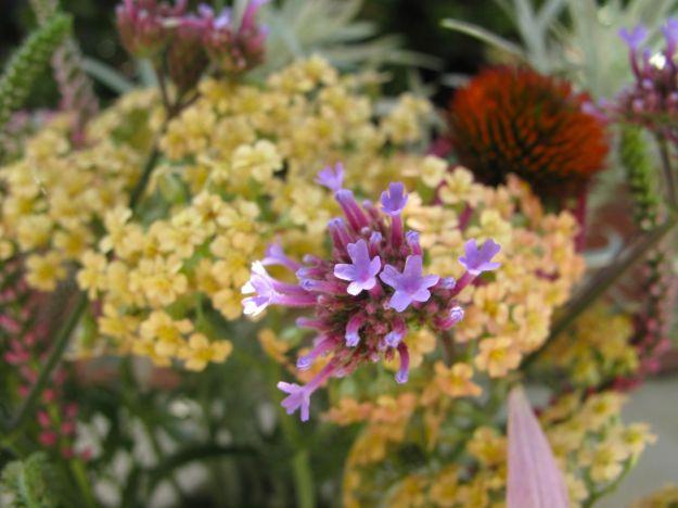 Verbena bonariensis (Tall Verbena) in front of Achillea x 'Appleblossom' (Yarrow)