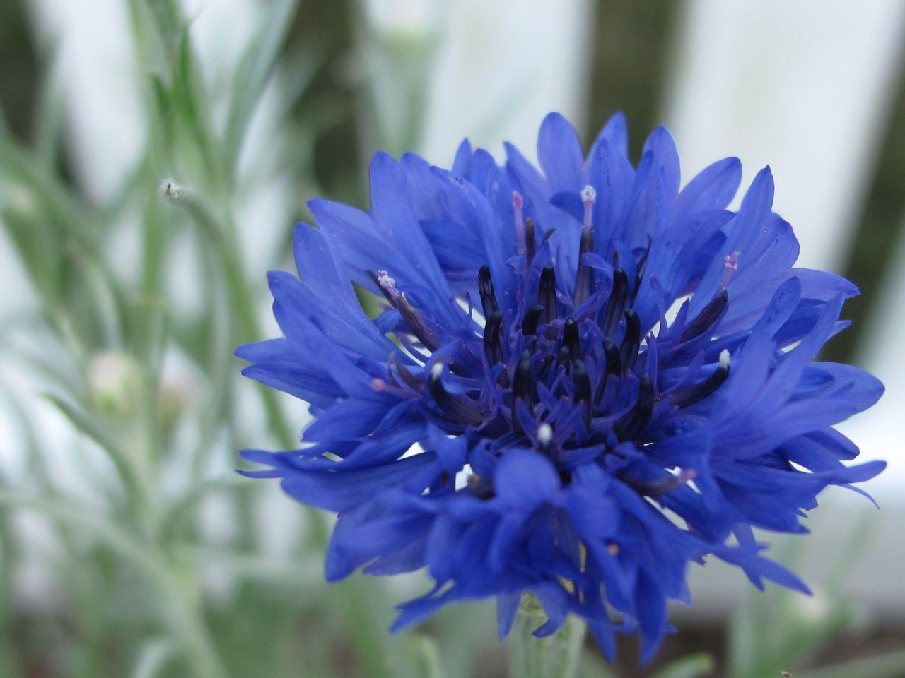 Buddleja davidii 'Adokeep' Adonis Blue Butterfly Bush