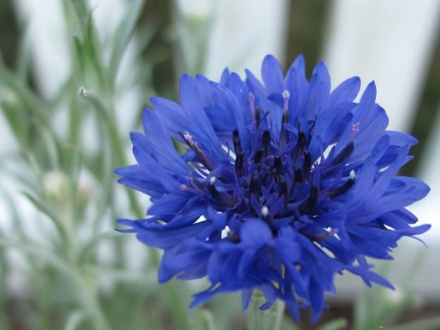 Centaurea cyanus 'Blue Boy'  (Bachelor's Button, Cornflower)
