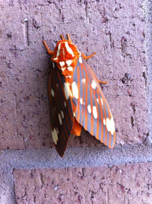 Citheronia regalis (regal moth or royal walnut moth)