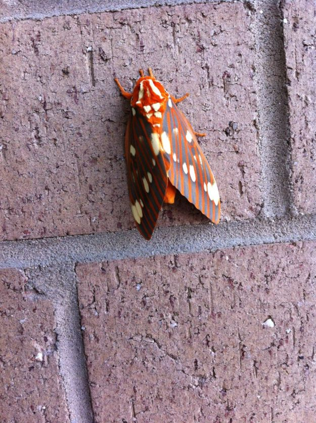 Citheronia regalis (regal moth or royal walnut moth)