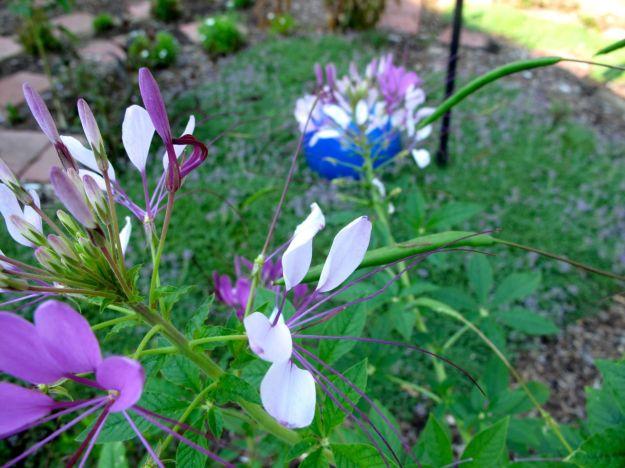 Cleome hassleriana (Spider Flower) and Thymus serpyllum 'Pink Chintz' (Pink chintz thyme)