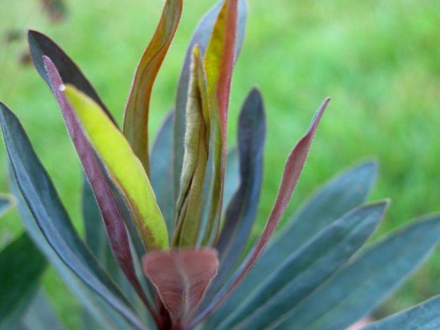 Euphorbia 'Blackbird' (Spurge)