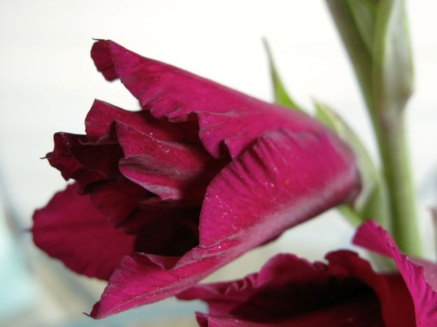 Gladiolus detail - In A Vase On Monday