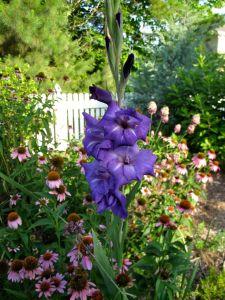 Gladiolus Among Echinacea