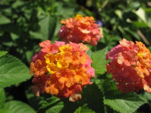 Lantana camara (Common lantana) July 20, 2014