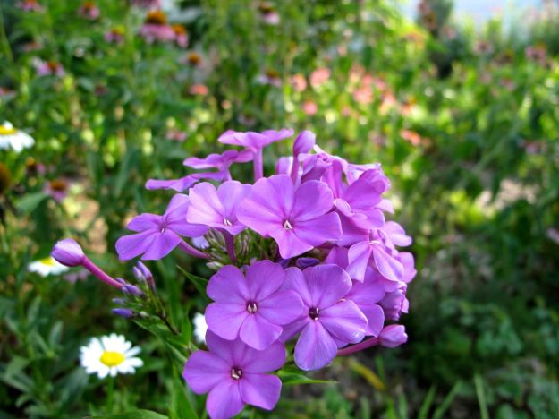 Looking toward the northern border - Phlox paniculata (Garden Phlox)