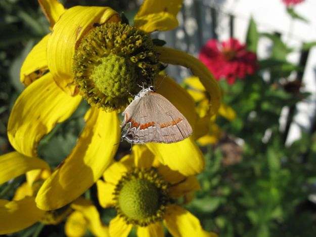 Hairstreak On Rudbeckia hirta 'Irish Eyes'