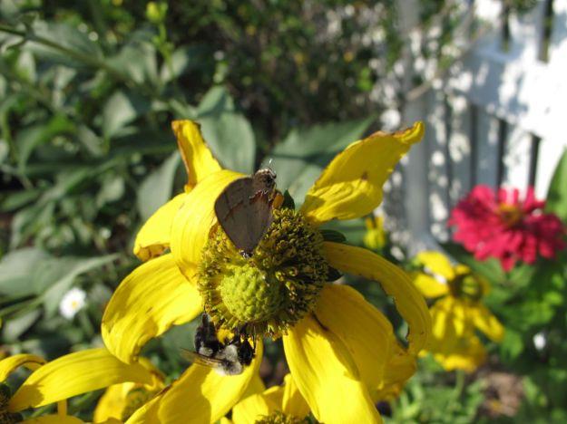 Hairstreak and Bee On Rudbeckia hirta 'Irish Eyes'