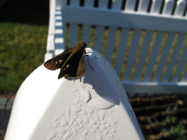 Skipper on fence post just after leaving my hand