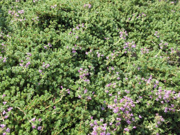 Thymus serpyllum 'Pink Chintz' (Pink chintz thyme)