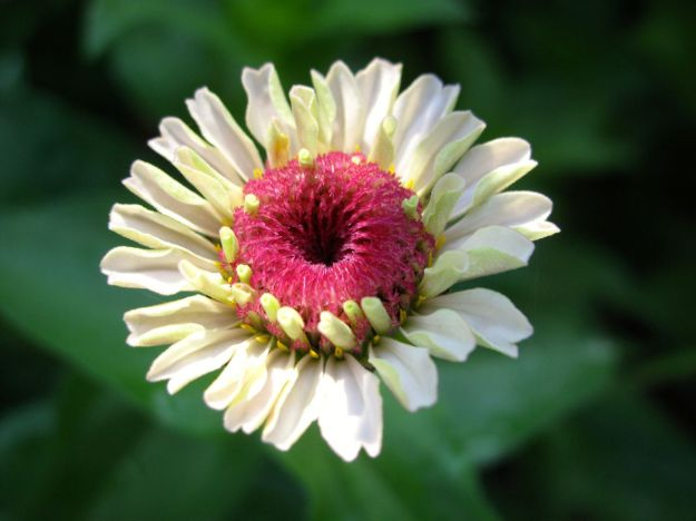 Zinnia In Early Morning Sunshine