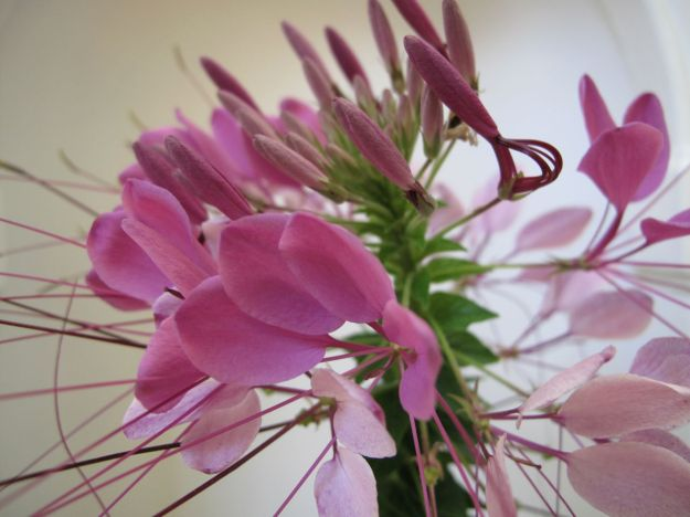 Cleome hassleriana (Spider Flower) Inflorescence