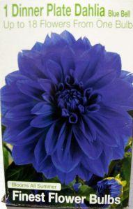 Dinner Plate Dahlia 'Blue Bell'