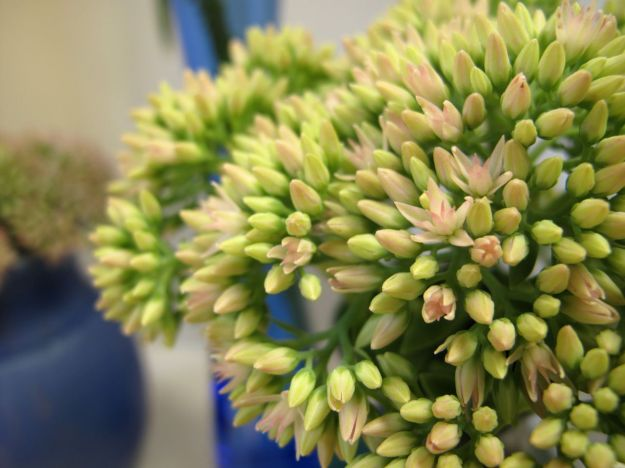 Star-shaped flowers starting to open on the Sedum 'Autumn Joy'