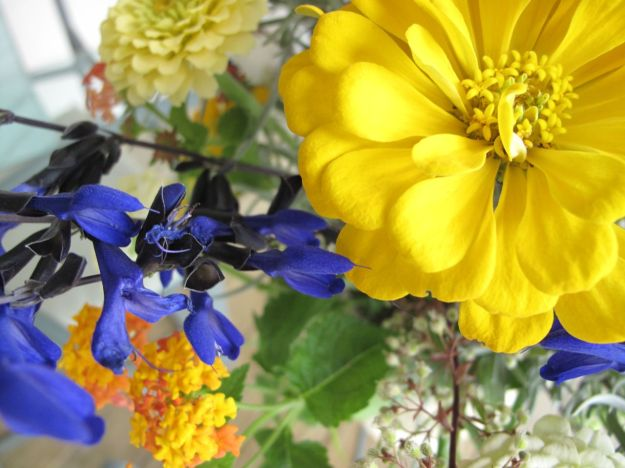 Salvia guaranitica 'Black and Blue' and Yellow Zinnia Giant Flowered