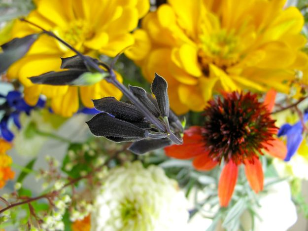 Salvia guaranitica 'Black and Blue' , Yellow Zinnia Giant Flowered and Echinacea 'Big Sky Sundown' (Hybrid Coneflower)