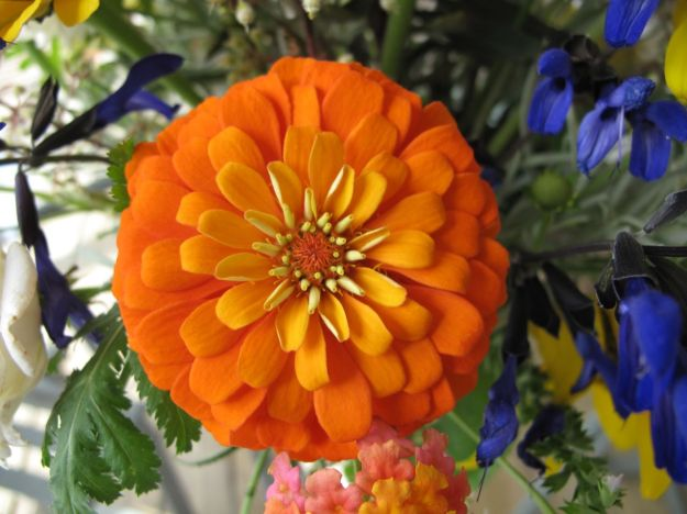 Orange Zinnia Cut and Come Again