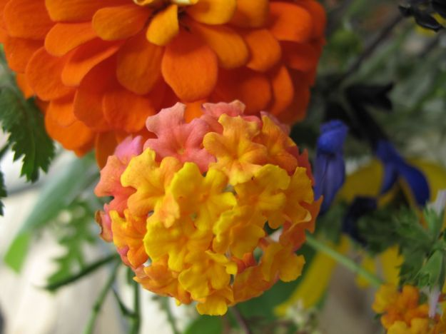 Lantana camara (Common lantana) and  Orange Zinnia Cut and Come Again