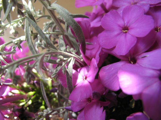 Phlox paniculata flowers and leaves of Dusty Miller