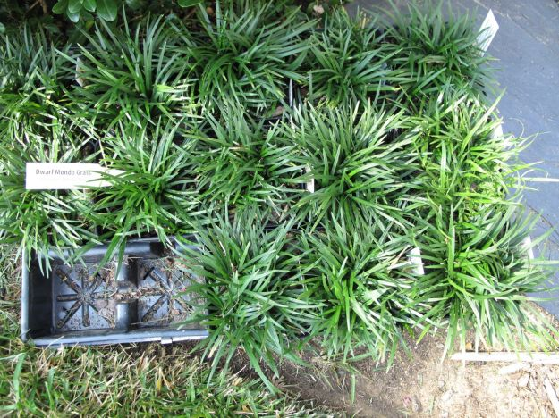 Ophiopogon japonicus 'Nana' (Dwarf Mondo Grass)