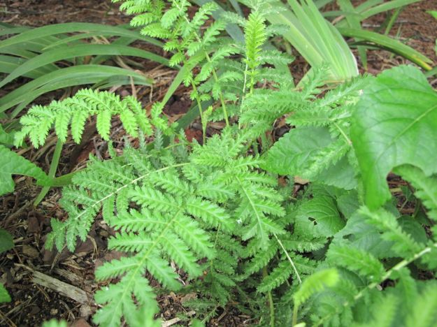 Tanacetum vulgare (Tansy)