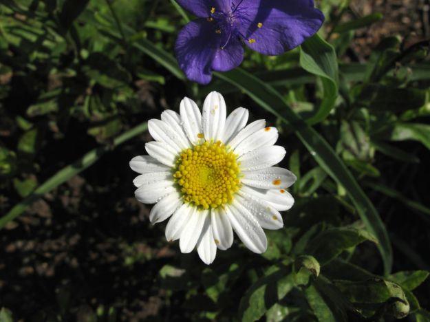 Tradescantia (Spiderwort) and Leucanthemum x superbum (Shasta Daisy)