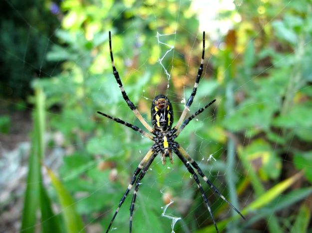 Argiope aurantia, (Corn Spider or Black and Yellow Garden Spider)