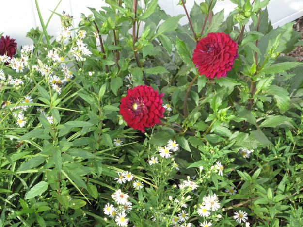 Dahlia peeking out above Symphyotrichum pilosum (frost aster)